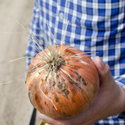 Saffron F1 Hybrid Onion
