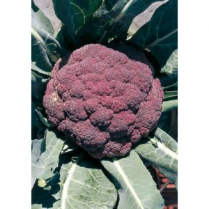 Di Sicilia Violetto Purple Cauliflower from our Italian Gourmet Seed Collection