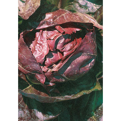 Palla Rossa 3 Italian Chicory Seeds from our Italian Gourmet Seed Collection