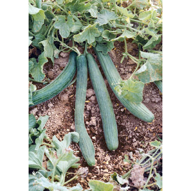Tortarello Verde Scuro Cucumber from our Italian Gourmet Seed Collection