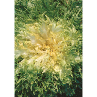 Riccia Santantuono Italian Endive Seeds from our Italian Gourmet Seed Collection