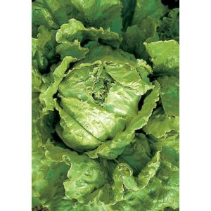 Cavolo di Napoli Crisphead Type Lettuce from our Italian Gourmet Seed Collection