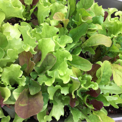 Misticanza Lettuce Seeds