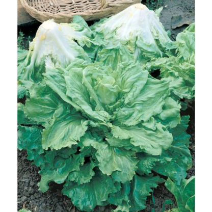 Certified Organic Batavian Full Heart Escarole Seeds