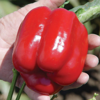 Cougar F1 Hybrid Sweet Bell Pepper