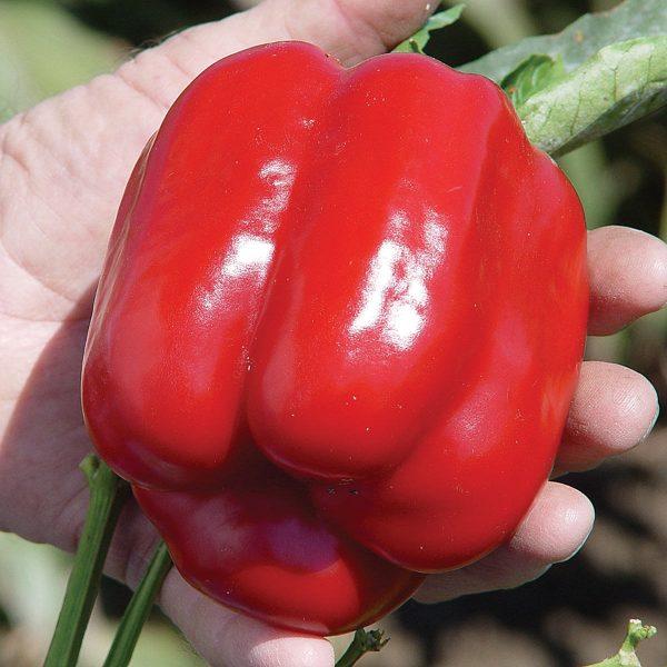 Cougar F1 Hybrid Sweet Bell Pepper