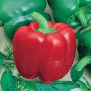California Wonder 300 TMR Sweet Bell Pepper