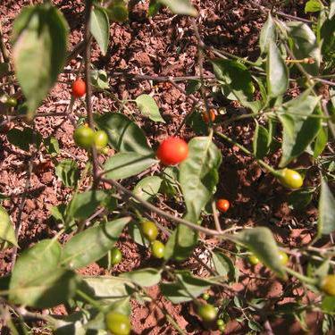 Chiltepin Hot Pepper