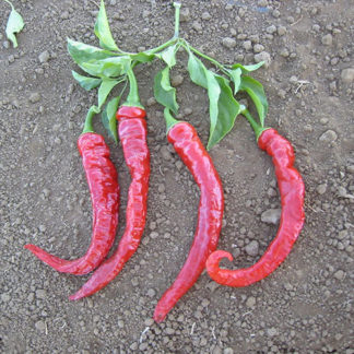 Cayenne Large Red Thick Hot Pepper