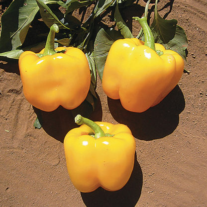 Golden Cal Wonder Sweet Bell Pepper