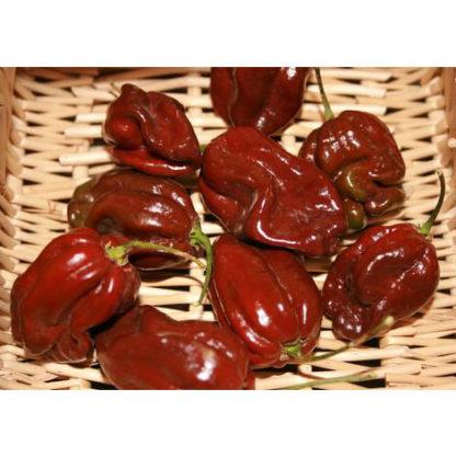 Chocolate Habanero Pepper