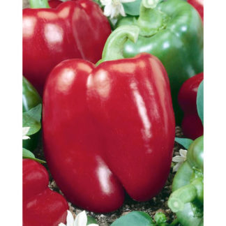 Keystone Resistant III Pepper Seeds
