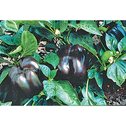 Purple Beauty Sweet Bell Pepper