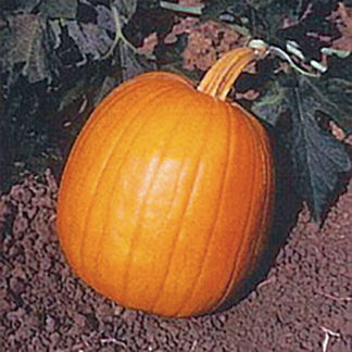 Autumn Gold F1 Hybrid Pumpkin