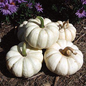 32438-Gooligan-Pumpkin