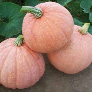 Moonscape F1 Hybrid Pumpkin