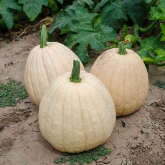 Tandy F1 Hybrid buff Colored Pumpkin Seeds