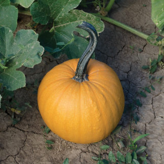 Orange Velvet F1 Hybrid Pumpkin