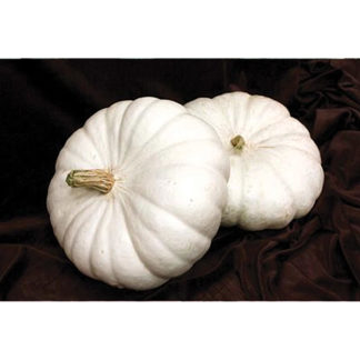 Flat White Boer Ford Pure White Stacking Pumpkin