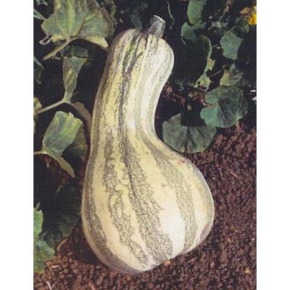 Cushaw Green Striped Pumpkin