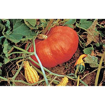 Rouge Vif d'Etampes (aka Cinderella) Pumpkin