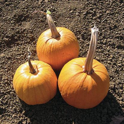 Small Sugar Pumpkin Seeds