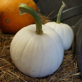 Stella Luna F1 Hybrid White Pumpkin