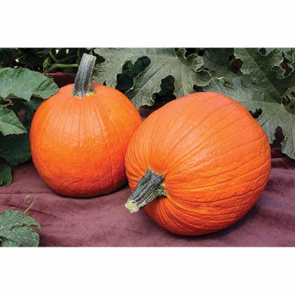 Baby Wrinkles F1 Hybrid Pumpkin