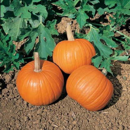 Wee-B-Little Pumpkin