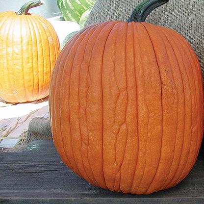 Mr. Wrinkles F1 Hybrid Pumpkin