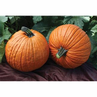 Mrs. Wrinkles F1 Hybrid Pumpkin