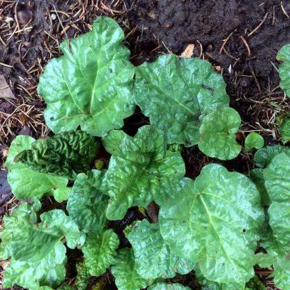 Glaskins Perpetual Rhubarb Seeds