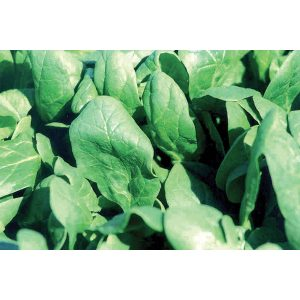 7-Green F1 Hybrid Spinach