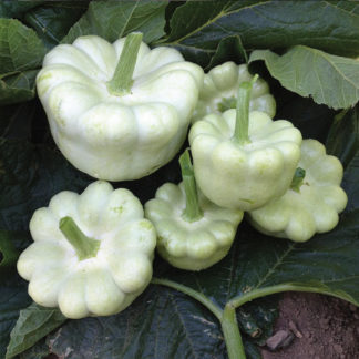 Daize F1 Hybrid patty pan scalloped squash