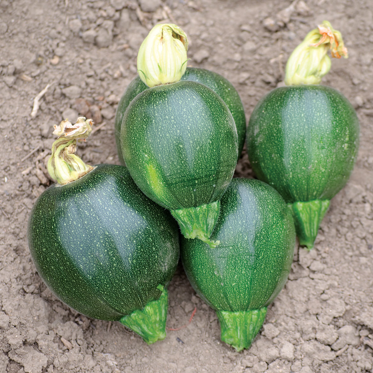 black ball f1 hybrid summer squash seeds ne seed. Black Bedroom Furniture Sets. Home Design Ideas