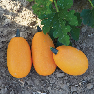 Unique PMT F1 Hybrid Personal Size Winter Squash