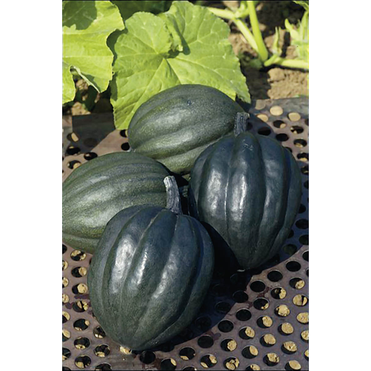 Table queen winter squash seeds ne seed for Table queen squash