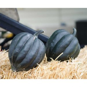 Black Bellota Hybrid Winter Acorn Squash