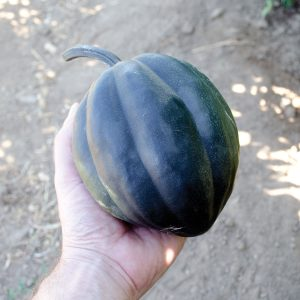 Black Bellota F1 Hybrid Acorn Winter Squash