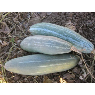 Guatemalan Blue Heirloom Winter Squash