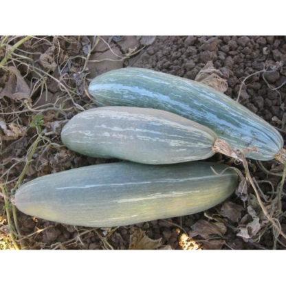 Guatemalan Blue Heirloom Winter Squash