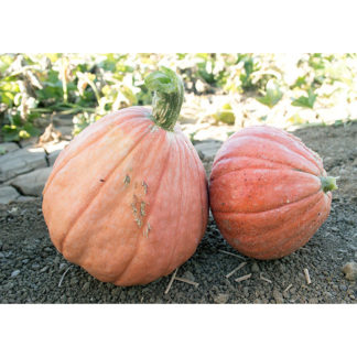 Golden Nugget Winter Squash
