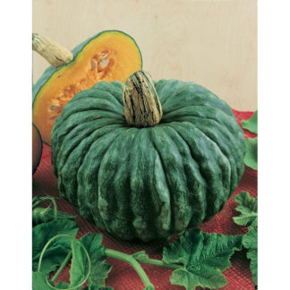 Marina di Chioggia Heirloom Winter Squash