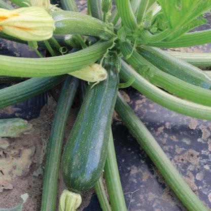 Jasper F1 Hybrid Zucchini Squash