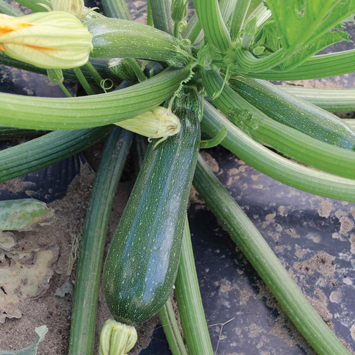 hybrid seedling