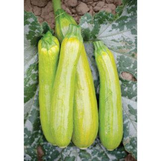 Limon F1 Hybrid Zucchini Squash