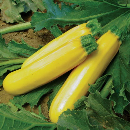 Golden Girl F1 Hybrid Zucchini Summer Squash