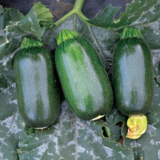 Green Griller F1 HybridOcal Zucchini Squash