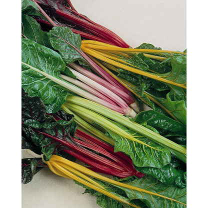 Rainbow Mix Heirloom Swiss Chard
