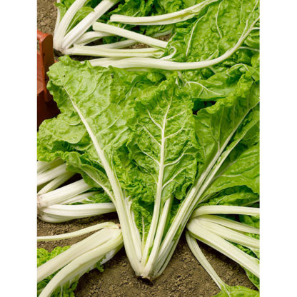 Giant Lucullus Swiss Chard Seeds